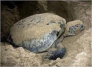 Bà Rịa Vũng Tàu: Đẩy mạnh du lịch phát triển thông qua việc xem rùa đẻ trứng