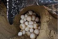 Côn Đảo: Chú trọng bảo vệ loại hình du lịch rùa đẻ trứng