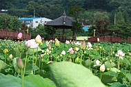 Đẹp quá hoa sen ở Côn Đảo