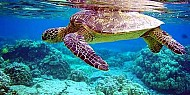 Rùa biển Việt Nam có nguy cơ tuyệt chủng