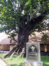 Thêm 3 cây cổ thụ  là cây di sản ở Côn Đảo