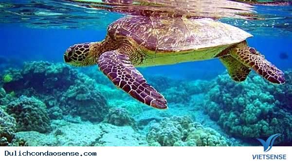 Rùa biển Việt Nam có nguy cơ tuyệt chủng,rua bien viet nam co nguy co tuyet chungRùa biển Việt Nam có nguy cơ tuyệt chủng